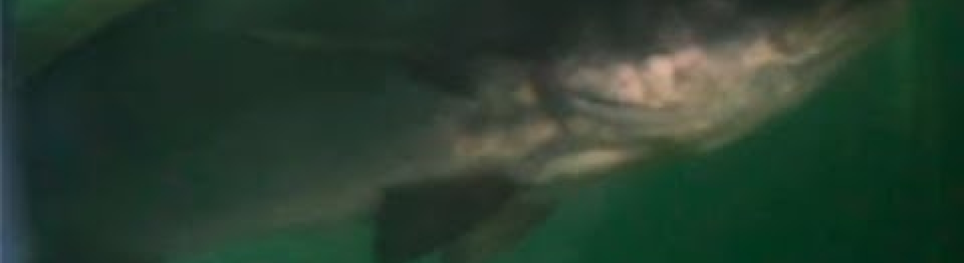 Embedded thumbnail for Totoaba, el oro del mar (UABC NO SE DETIENE) - IMAGO