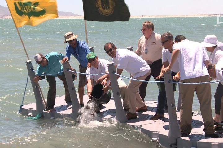 Embedded thumbnail for Contribuye UABC al repoblamiento de totoaba en el Mar de Cortés